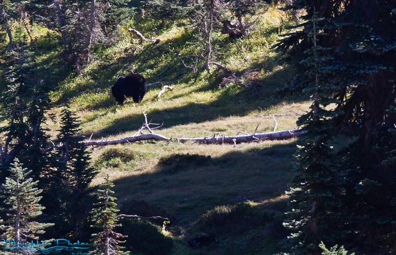 black bear. Yes I saw a real live bear.