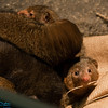 mongoose pile
