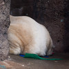 polar bear butt