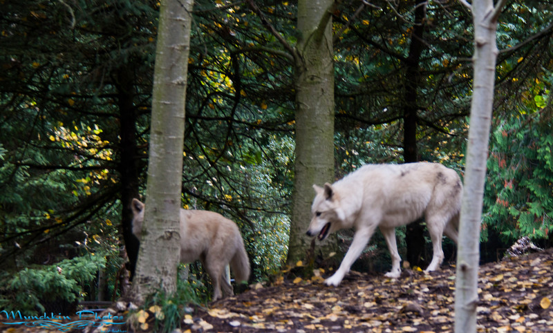 Wolves at the zoo.