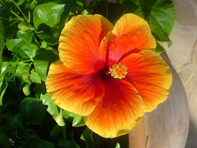Hibiscus flower on our terras at the house El Paso