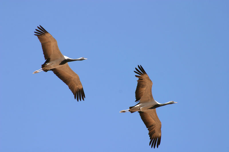 Two demoiselle cranes in flight.