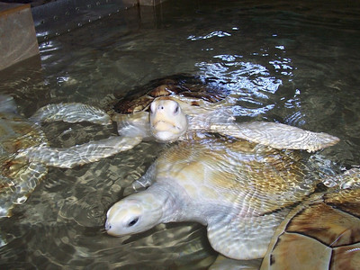 Thes sea turtles had shells about as large as a basketball. The white ones are somewhat rare.