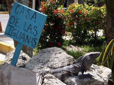 More iguanas at the sea turtle farm.