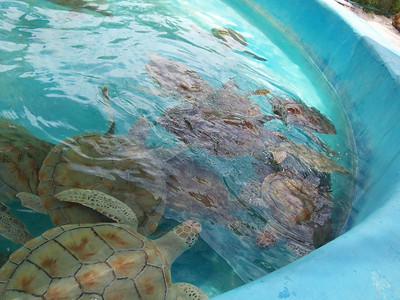 These larger sea turtles are as big as garbage can lids.