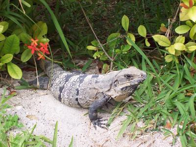 We saw lots of iguanas on Isla Mujeres.