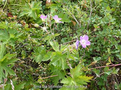 Små blå blomster i den rige flora