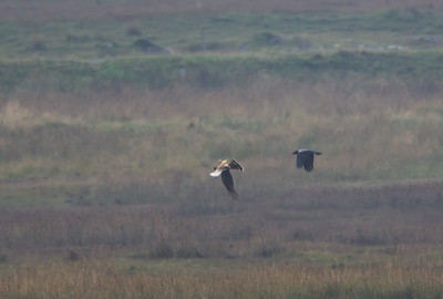 Female Hen Harrier showing her talons to the hooded crow, warning him off....