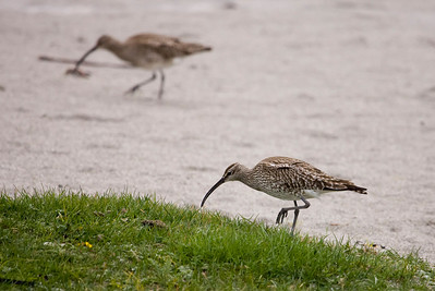 One of many whimbrel down at Uisken Bay