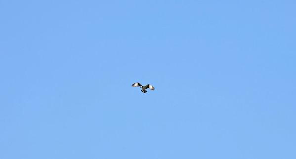 Osprey at Loch Frisa