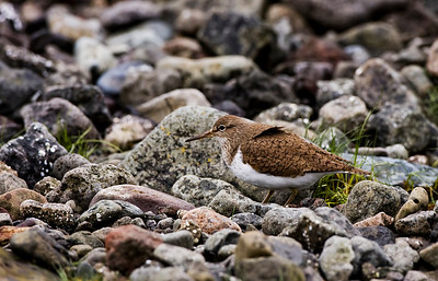 common sandpiper at Loch Na Keal