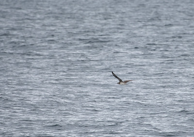 record shot of pomarine or arctic skua
