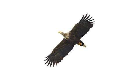 White Tailed Eagle, from the shore!