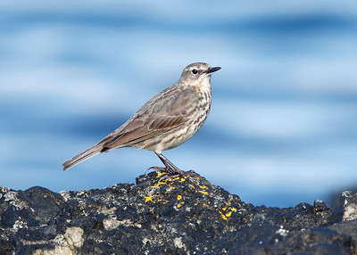 Unknown Pipit