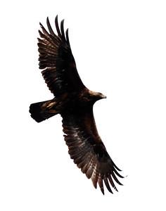 Golde Eagle