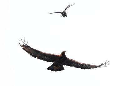 Golden Eagle & Hooded Crow