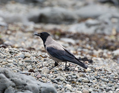 hooded crow, pennyghael