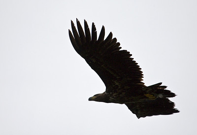 juvenile white tailed sea eagle, loch scridain