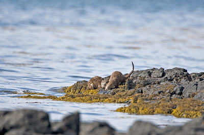 otters at loch scridain