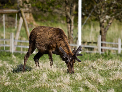 "red deer in ""velvet"", pennyghael"