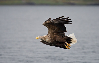 white tailed sea eagle, loch na keal