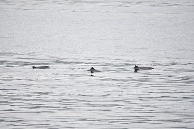 harbour porpoises, sound of mull