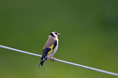 goldfinch, isle of iona