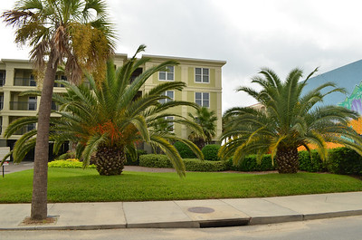 These palm trees are huge.