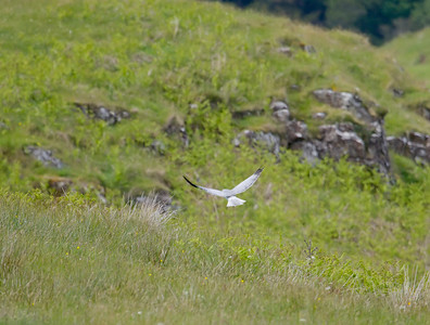Male hen harrier, Isle Of Mull