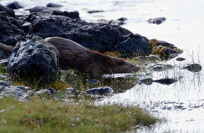 Dog otter, Isle Of Mull