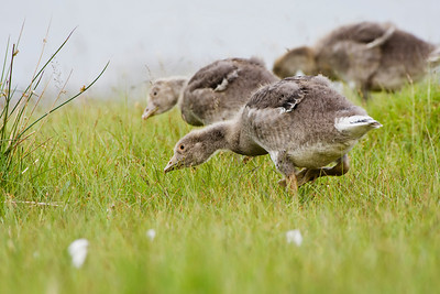Young greylag goose, Isle Of Mull