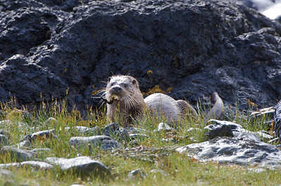 Dog otter eating a freshly caught crab, Isle Of Mull
