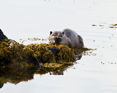 Dog otter munching on a freshly caught fish, Isle Of Mull