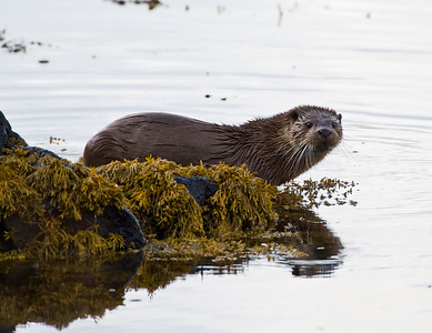 Dog otter, I think he's seen me! Isle Of Mull