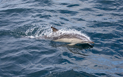 Common Dolphin, observed whilst on a tour with Sea Life Surveys, which sails from Tobermory,Isle Of Mull