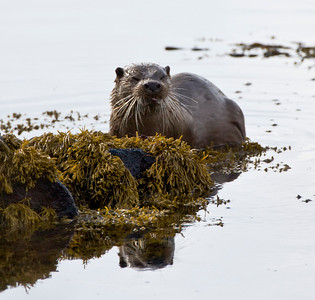 Dog otter, this one could end up as a caption competition! Isle Of Mull