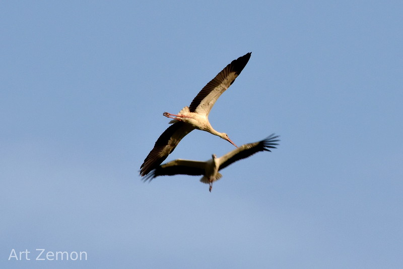 Storks soaring over the Sea of Galilee