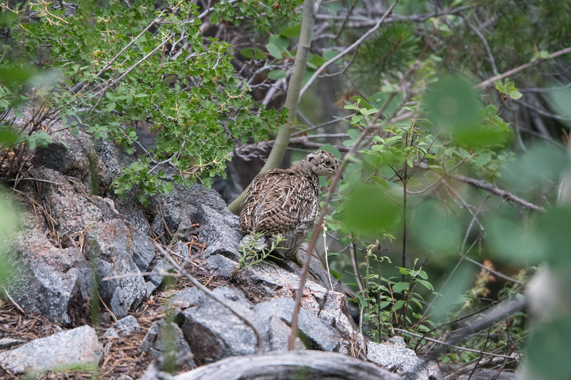 Baby grouse