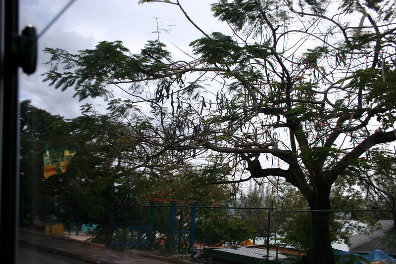 A Tamarind tree