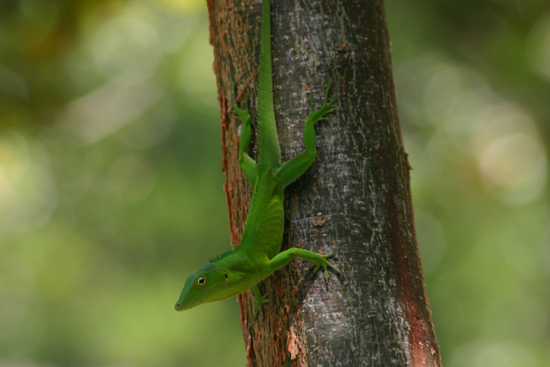 These guys run the show at Couples Negril.  Jonathan planned to go looking for one, but this little guy came to him, on the tree outside of his balcony, the morning before we left.