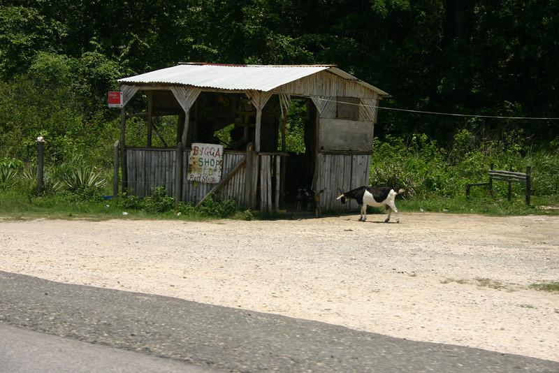 Two goats sneaking their way into Bigga Shop.