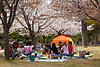 Families having a picnic under cherry blossoms