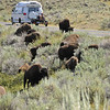 """We had an awesome """"bison encounter"""" on our way to Lamar Valley.  They were down in the valley, they were walking across the road, they were mating (well, courting!), the males were challenging each other for dominance.  It was an incredible find!"""
