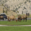 Back in Mammoth Springs are our way back to the cabins, the elk just graze and lay all around the village.
