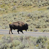 Where there is one bison ...