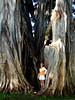 B& large Banyan @Waimea Plantation