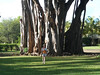 Becky&large Banyan tree at Waimea