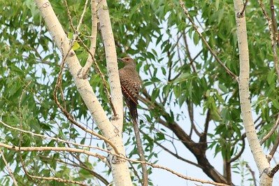 """""""Red-shafted"""" Northern Flicker @ Carolyn Holmberg Preserve"""