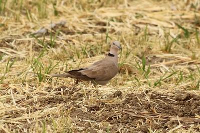 Eurasian Collared Dove @ Carolyn Holmberg Preserve