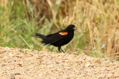 Red-wing Blackbird (Male) @ Carolyn Holmberg Preserve